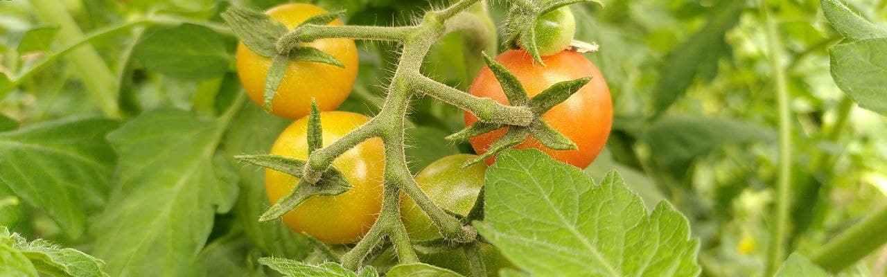 dype røtter tomater juni
