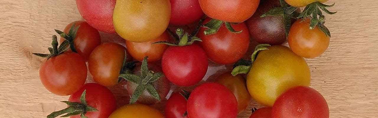 Første Dype Røtter tomater i grønnsakskasser